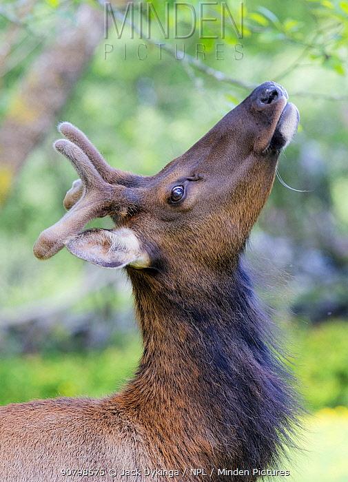 Roosevelt elk (Cervus canadensis roosevelti) stag in velvet, Del Norte Redwoods National Park, California, USA. June Completed Review