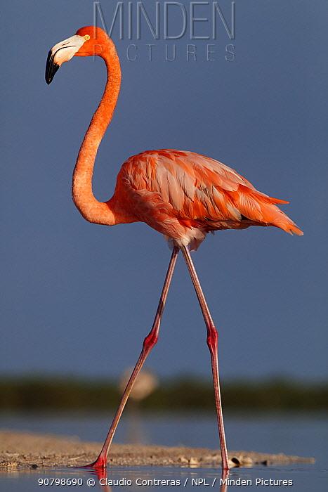 Caribbean flamingo (Phoenicopterus ruber) walking, Ria Lagartos Biosphere Reserve, Yucatan Peninsula, Mexico, September