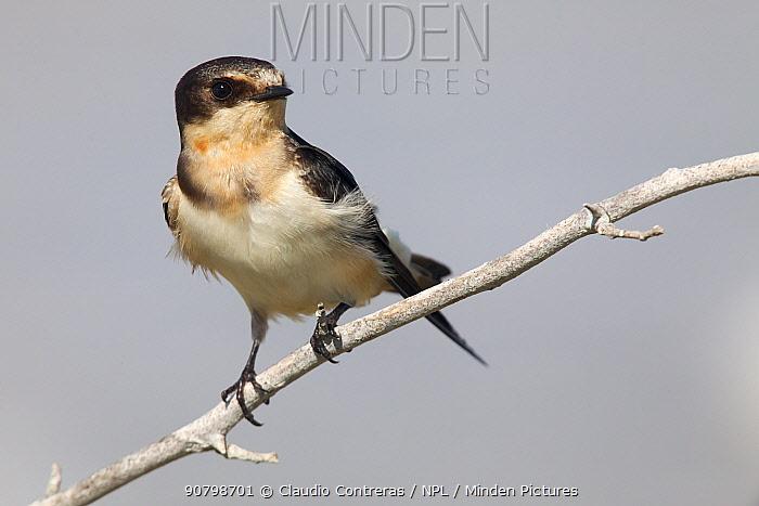 Barn Swallow (Hirundo rustica), Ria Lagartos Biosphere Reserve, Yucatan Peninsula, Mexico, September