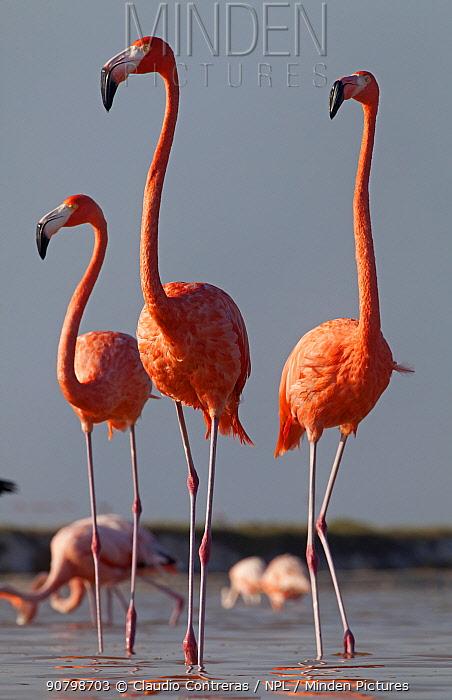 Caribbean flamingo (Phoenicopterus ruber), Ria Lagartos Biosphere Reserve, Yucatan Peninsula, Mexico, September