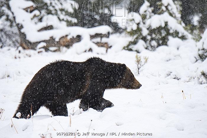 Grizzly bear (Ursus arctos horribilis) walking through snow, foraging prior to hibernation. Grand Teton National Park, Wyoming, USA. November.