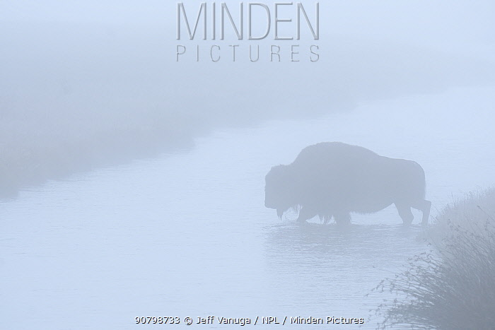Bison (Bison bison) crossing Nez Perce Creek in early morning fog, Yellowstone National Park, Wyoming. September.