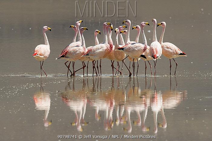 James's flamingo (Phoenicoparrus jamesi), flock standing in saline Laguna Colorada, Altiplano Desert. Eduardo Avaroa Andean Fauna National Reserve, Andean Plateau, Bolivia.