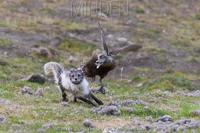 Arctic fox (Vulpes lagopus) flushing Common eider duck (Somateria mollissima) female from nest in colony. Svalbard, Norway. June.