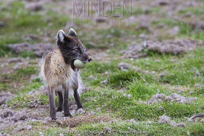 Arctic fox (Vulpes lagopus) standing with Common eider (Somateria mollissima) egg in mouth. Svalbard, Norway. June.