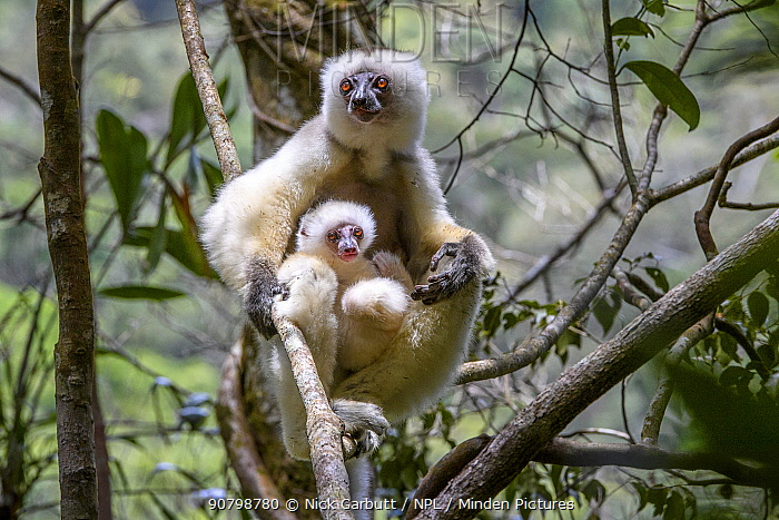 Silky sifaka (Propithecus candidus), female with baby sitting in rainforest understorey. Mid-altitude montane rainforest, Marojejy National Park, north-east Madagascar.
