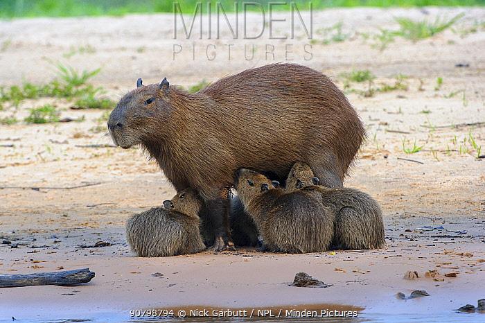 Capybara (Hydrochoerus hydrochaeris) female with litter of suckling pups. Banks of the Cuiaba River, Pantanal, Mato Grosso, Brazil.