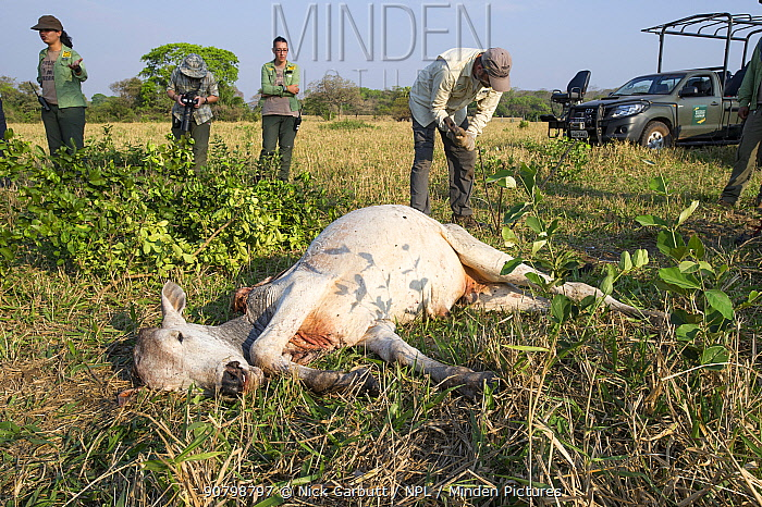 Veterinarian from Oncafari Project setting trap to catch Jaguar (Panthera onca palustris) in order to fit a radio collar. In foreground old and weakened Cow killed by female Jaguar. Caiman Lodge, southern Pantanal, Mato Grosso do Sul, Brazil. September 2017.