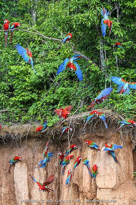 Red-and-green macaw (Ara chloropterus) flock feeding at wall of clay lick, flying and perched in trees. Heath River, Tambopata / Bahuaja-Sonene Reserves, Amazonia, Peru / Bolivia border.