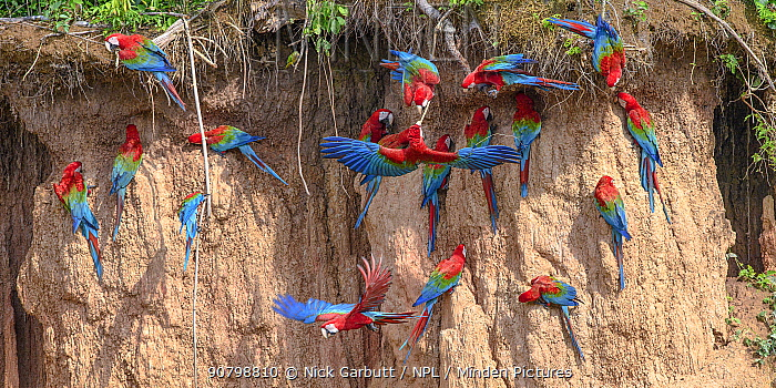 Red-and-green macaw (Ara chloropterus) flock feeding at clay lick. Heath River, Tambopata / Bahuaja-Sonene Reserves, Amazonia, Peru / Bolivia border.