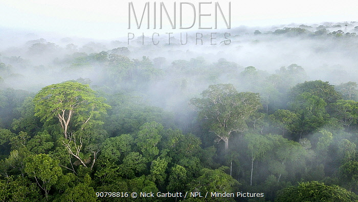Aerial view of lowland Amazonia rainforest in mist just after sunrise. Manu Biosphere Reserve, Amazonia, Peru. November 2017.