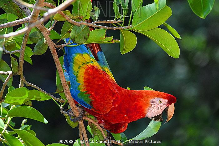 Scarlet macaw (Ara macao) perched on tree in forest canopy. Manu Widllife Center, Manu Biosphere Reserve, Amazonia, Peru.