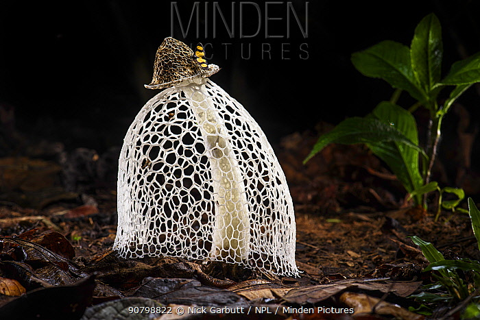 Maiden's veil / Bridal veil fungus (Phallus indusiatus) with indusium fully formed, on rainforest floor. Heath River, Tambopata / Bahuaja-Sonene Reserves, Amazonia, Peru / Bolivia border.
