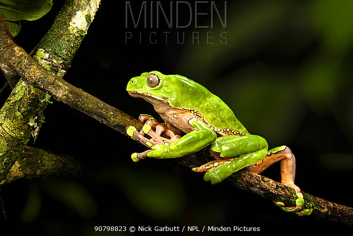Giant waxy monkey / Leaf frog (Phyllomedusa bicolor) climbing on branch in rainforest canopy at night. Manu Biosphere Reserve, Peru.