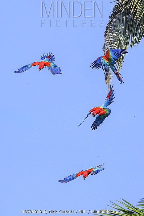 Red-and-green macaw (Ara chloropterus), four flying in palm trees. Manu Wildlife Center, Manu Biosphere Reserve, Peru.