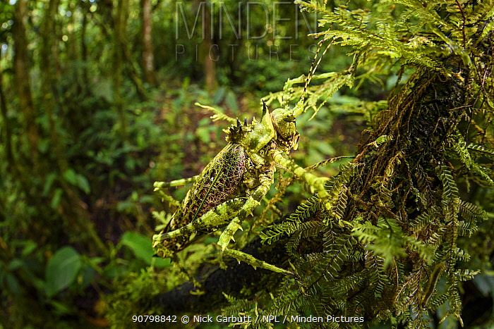 Bush cricket or katydid (Tettigoniidae) with spines, camouflaged amongst moss. Forest interior of mid-altitude montane rainforest, Manu Biosphere Reserve, Peru.