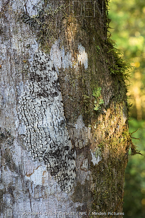 White witch moth (Thysania agrippina) camouflaged against tree trunk. Manu Biosphere Reserve, Amazonia, Peru.