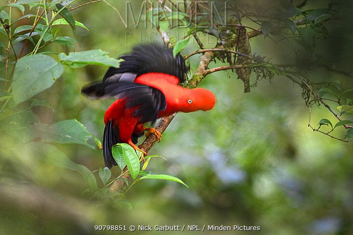 Andean cock-of-the-rock (Rupicola peruvianus), male displaying at lek in tree. Manu Biosphere Reserve, Amazonia, Peru.