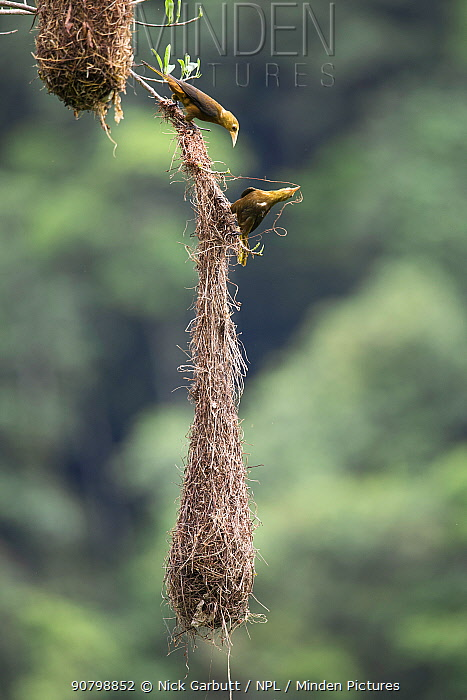 Russet-backed oropendola (Psarocolius angustifrons), pair constructing nest. Manu Biosphere Reserve, Peru.