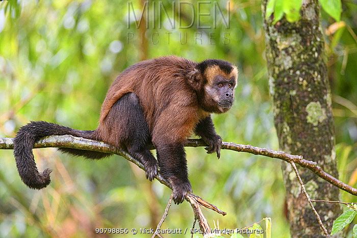 Male tufted / Brown capuchin (Cebus apella) sitting in tree, mid-altitude montane forest, Manu Biosphere Reserve, Peru.