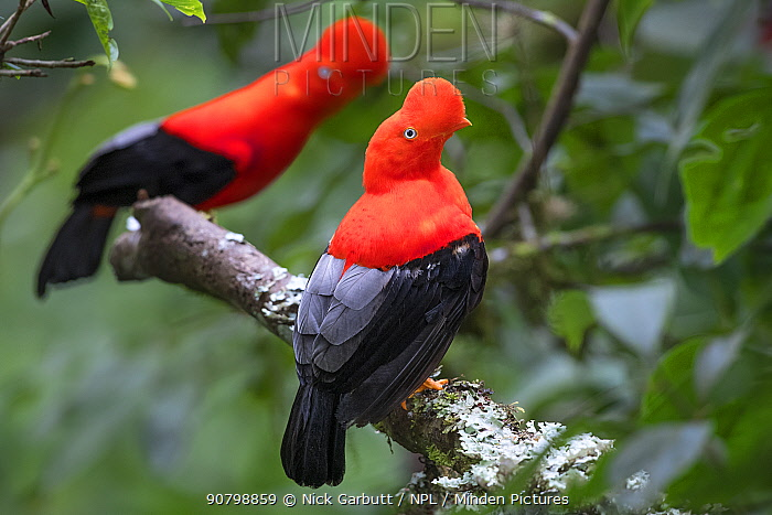 Andean cock-of-the-rock (Rupicola peruvianus), two males perched in tree at lek in mid-altitude montane rainforest. Manu Biosphere Reserve, Amazonia, Peru.