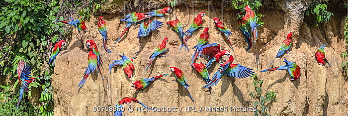 Red-and-green macaw (Ara chloropterus) flock feeding at wall of clay lick. Manu Wildlife Center, Manu Biosphere Reserve, Amazonia, Peru.