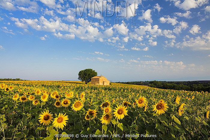 Field of sunflowers in bloom, Plateau de Valensole, Provence, France. July 2015