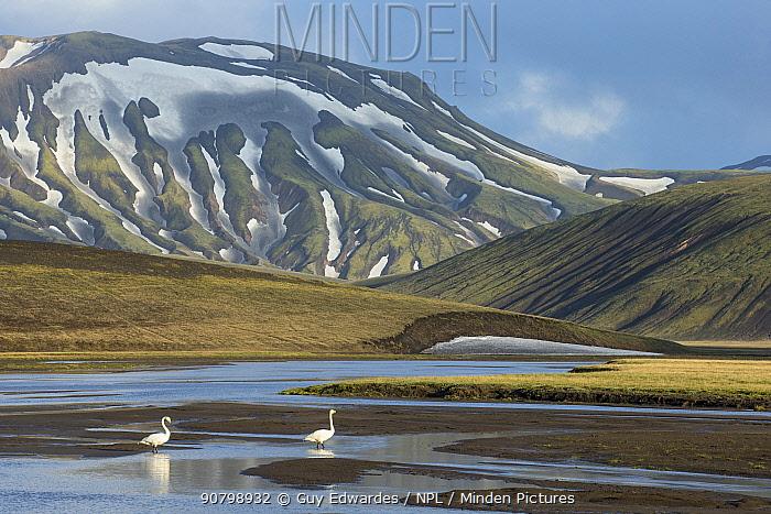 Whooper swan (Cygnus cygnus) in landscape of Landmannalaugar, Iceland, June.