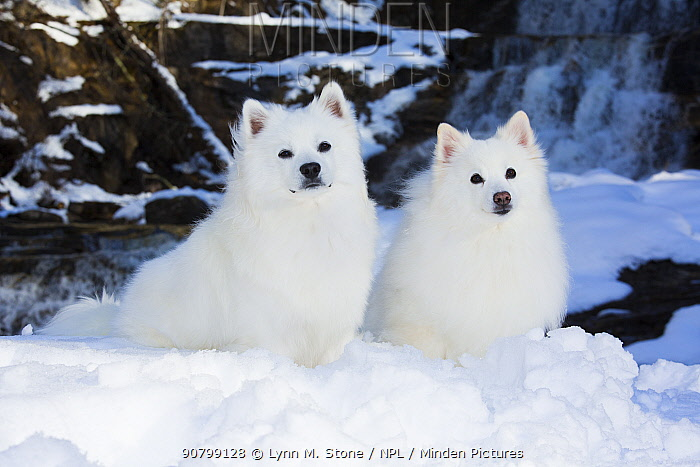 American Eskimo dogs, two sittingin snow with waterfall in background. Kent, Connecticut, USA.