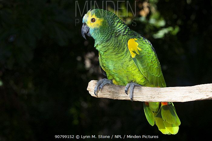 Blue-fronted Amazon parrot (Amazona aestiva)on perch. Captive.
