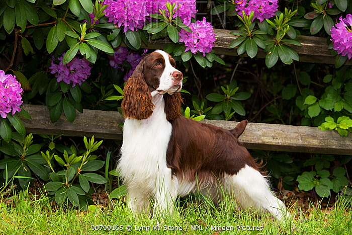 English springer spaniel standing in front of Rhododendron flowers. Haddam, Connecticut, USA. June.