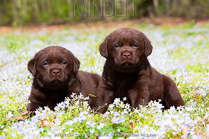 Chocolate labrador retriever, two puppies lying in Common bluet (Houstonia caerulea) field. Haddam, Connecticut, USA. May.
