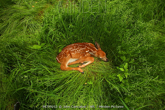 White-tailed deer (Odocoileus virginianus) fawn resting in long grass, New York, USA, May.