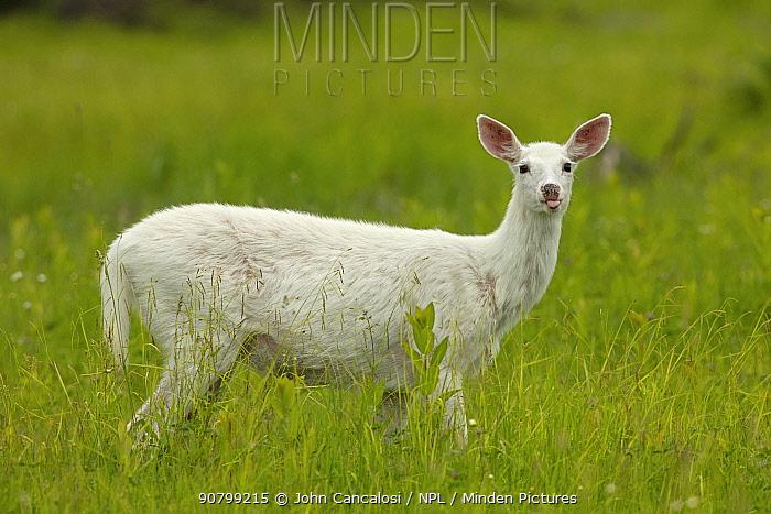 White-tailed deer (Odocoileus virginianus), leucistic white doe, New York, USA, June.