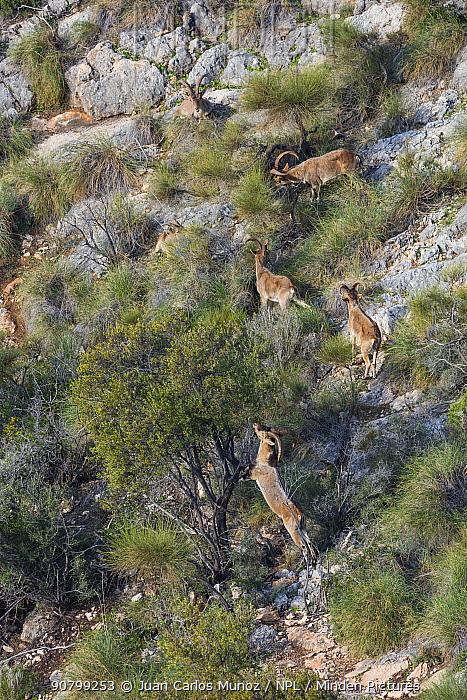 Iberian ibex (Capra pyrenaica) herd, Maro-Cerro Gordo Cliffs Natural Area, Granada, Andalusia, Spain. January 2018.