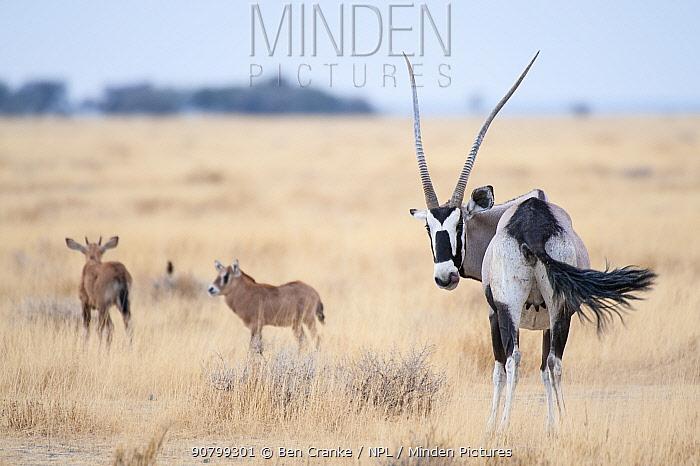 Gemsbok (Oryx gazella) female with two calves, Namibrand Reserve, Namib Desert, Namibia