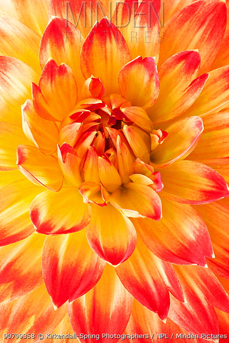 Dahlia flower, close up of petals in garden, Washington, USA, July.