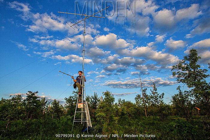 Portrait of Nathan Cooper checking for Kirtland's warblers (Setophaga kirtlandii) Michigan, USA, July 2017.