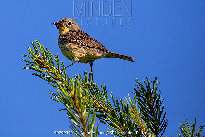 Kirtland's warbler (Setophaga kirtlandii) female in jack pine carrying food for young. Michigan, USA, July.