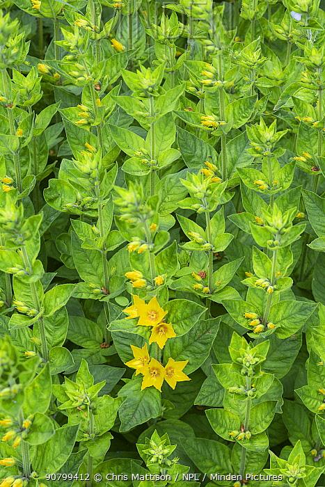 Yellow loosestrife (Lysimachia vulgaris) growing along a lane, Monmouthshire, Wales, UK.