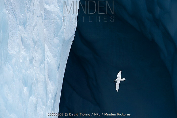 Snow petrel (Pagadroma nivea nivea) flying around Iceberg off South Georgia, Southern Ocean January