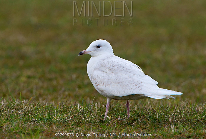 Iceland gull (Larus glaucoides) with 1st summer or second year plumage Unst, Shetland, Scotland, UK. June