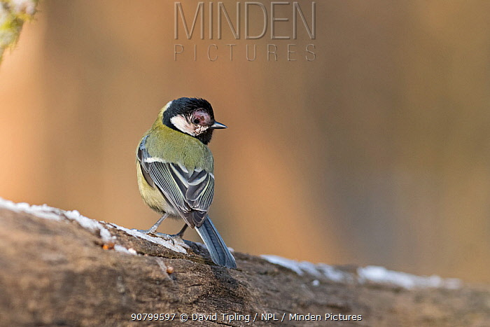 Great tit (Parus major) with Avian Pox, Hungary, January