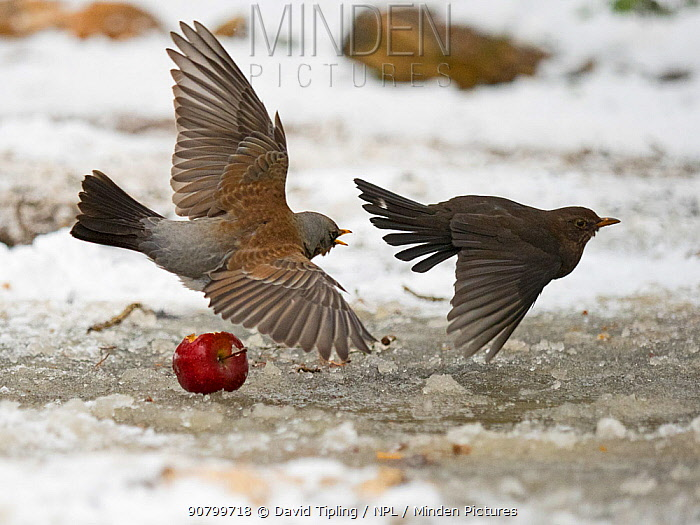 Fieldfare (Turdus pilaris) fighting with Blackbird (Turdus merula) over food in garden in freezing weather with snow on the ground Norfolk, England, UK. february