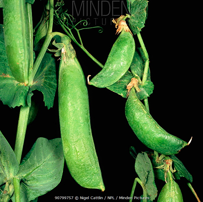 Pea Seed Borne Mosaic Virus (PSbMV)-affected stunted pea pods compared to healthy Pea pods (Pisum sativum)