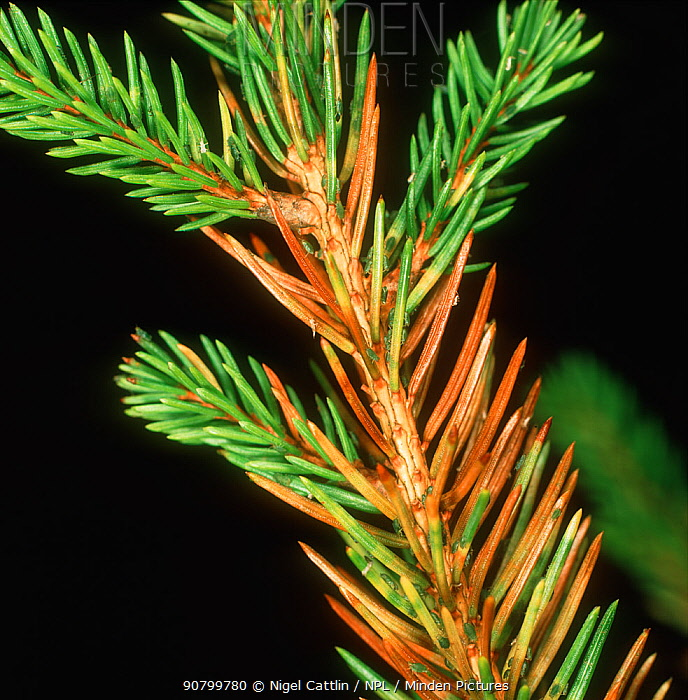 Green Spruce Aphid (Elatobium abietinum) damage to Norway Spruce needles (Picea abies).