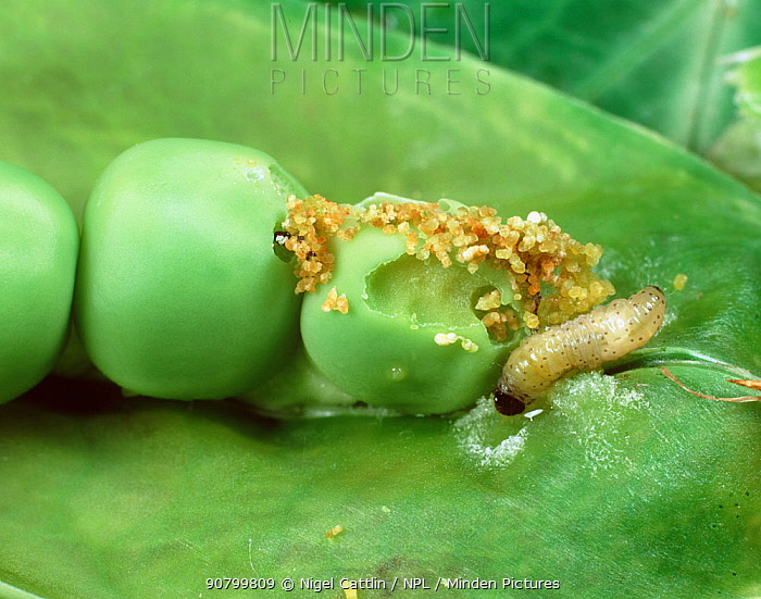 Pea Moth (Cydia nigricana) caterpillar eating a Pea in the pod (Pisum sativum).