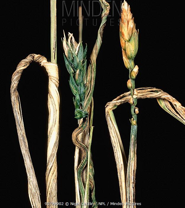Flag Smut (Urocystis agropyri) on Wheat crop flagleaf (Triticum sp). USA.