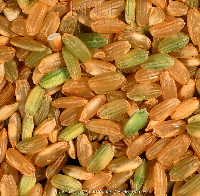 Close up of organic Rice grains and husks (Oryza sativa).
