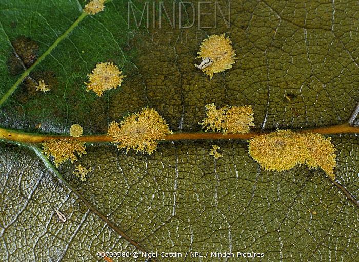 Algal Spot (Cephaleuros virescens) caused by a pathogenic algae on an Avocado leaf (Persea americana).